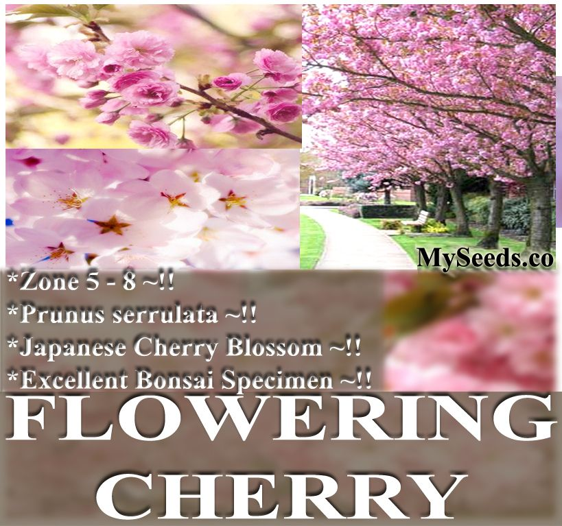 JAPANESE CHERRY BLOSSOM Tree Seeds BONSAI SAKURA GARDEN
